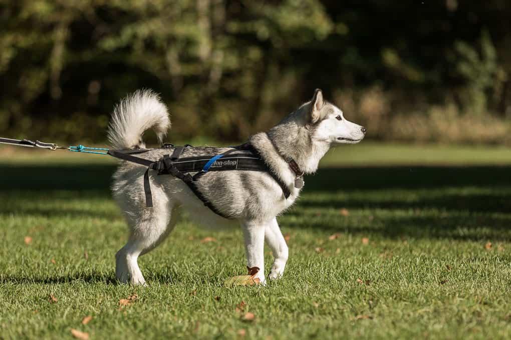 husky wearing harness for canicross race