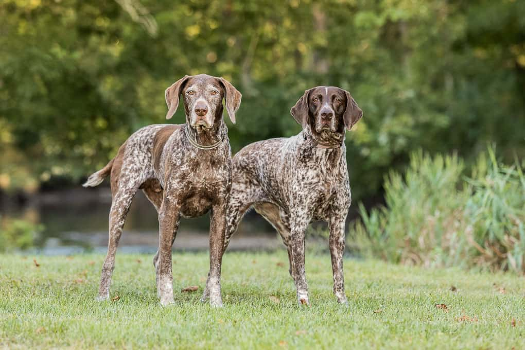 Two German Shorthaired Pointers at Shadow Dog Photography Session in Wisconsin