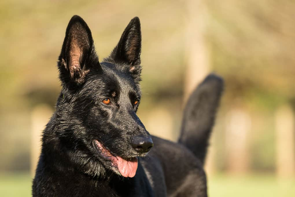 A Black German Shepherd Dog at a Shadow Dog Photography Session in Wisconsin