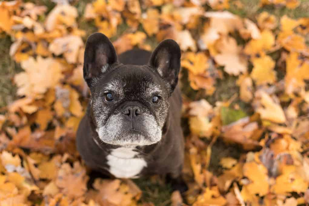 Black Frenchie Sitting in Leaves at Shadow Dog Photography Session in Wisconsin