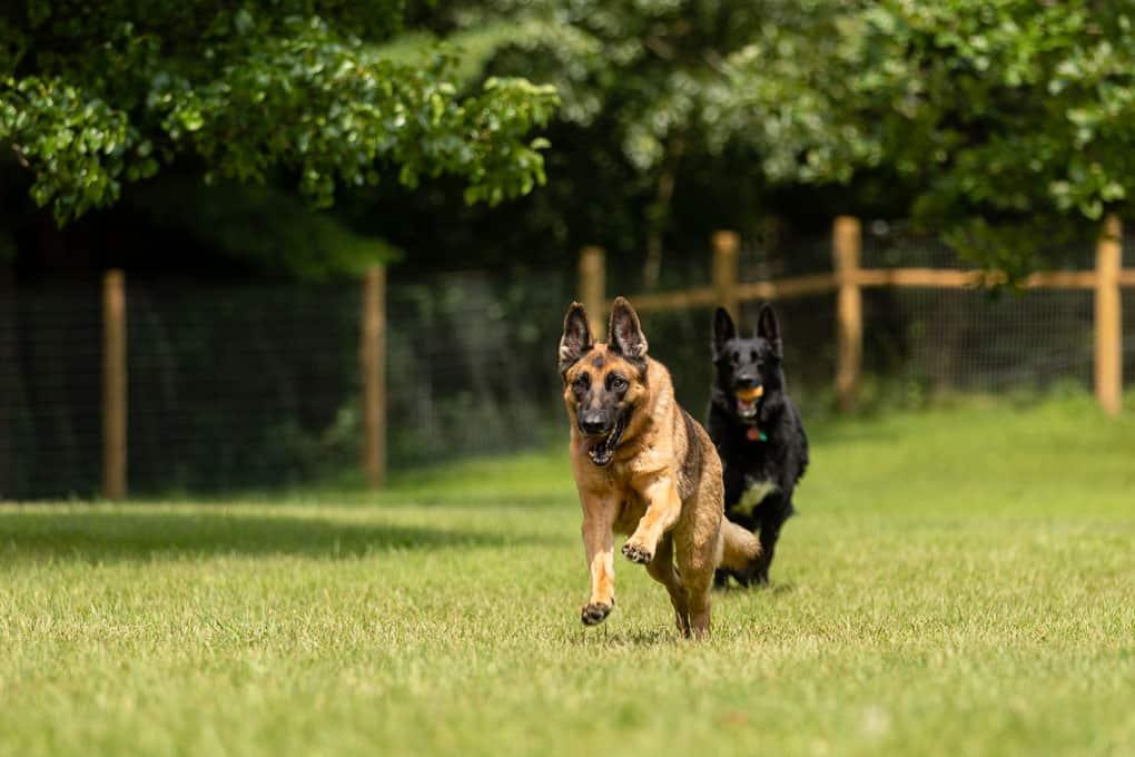 German Shepherd Dogs Running Shadow Dog Photography