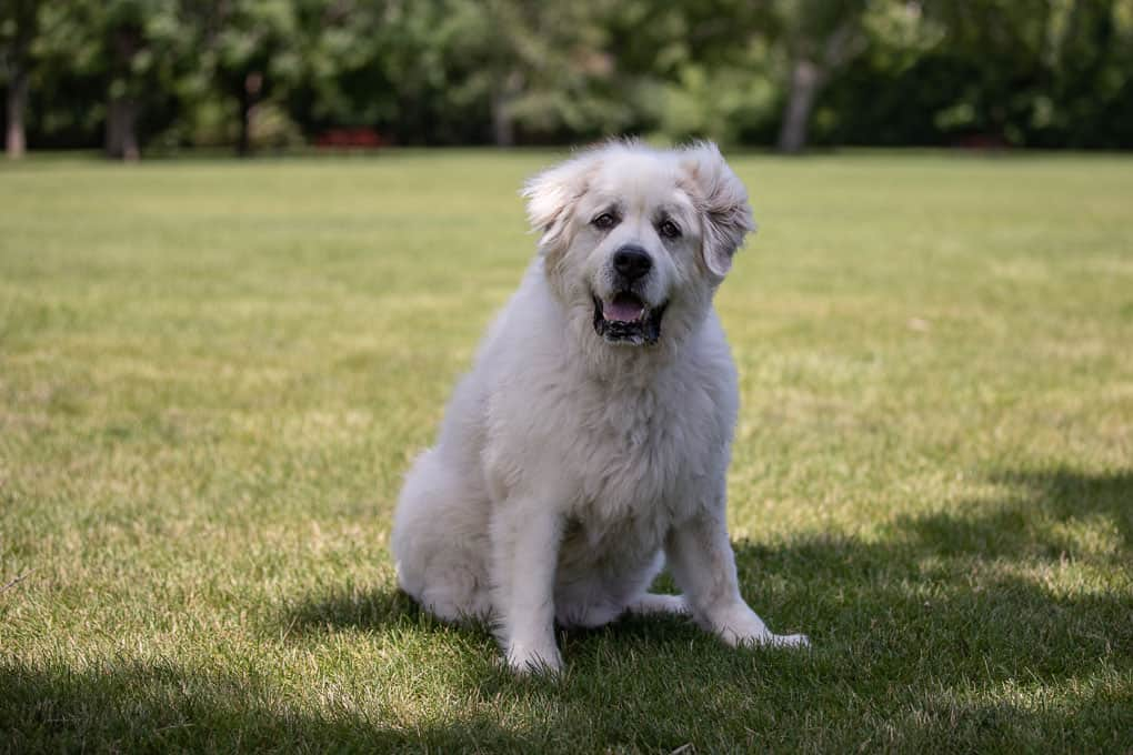 Great Pyrenees Shadow Dog Photography-1