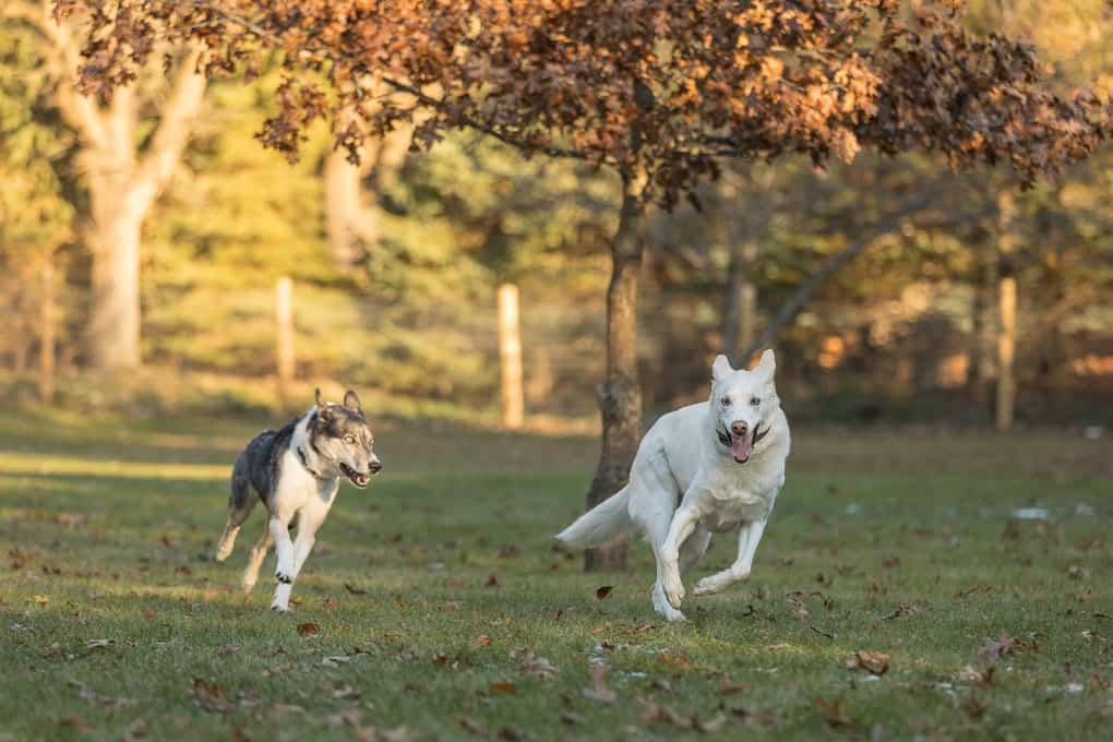 Running Dogs Shadow Dog Photography