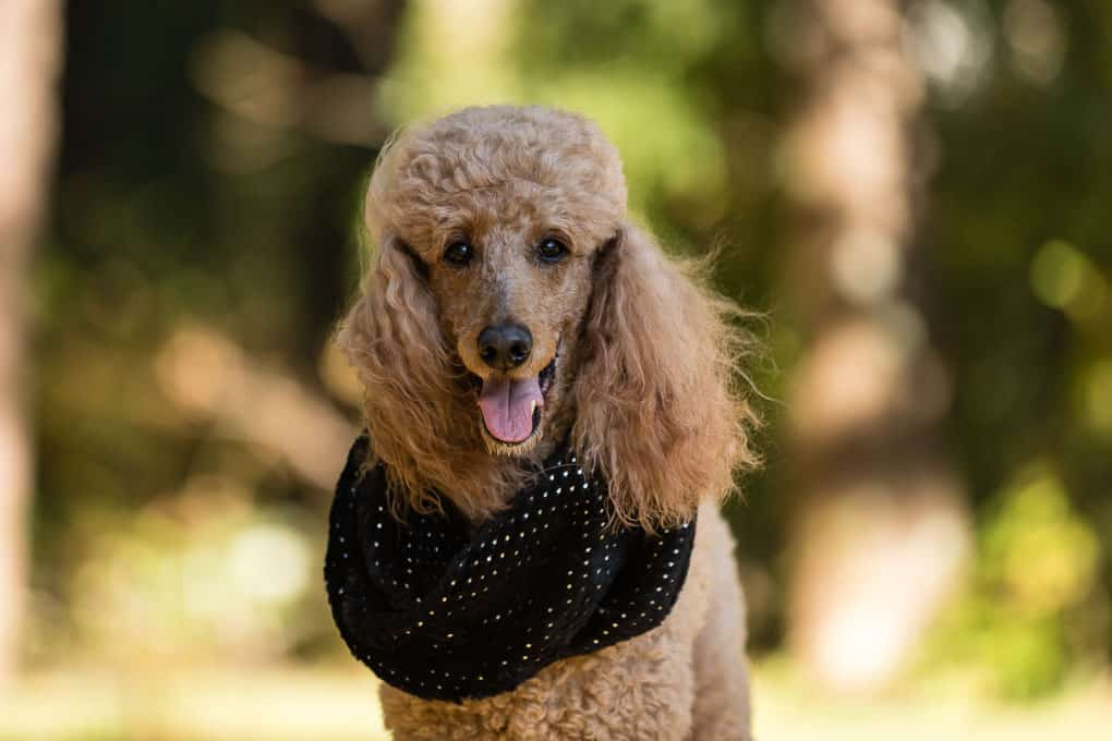 Standard Poodle Shadow Dog Photography