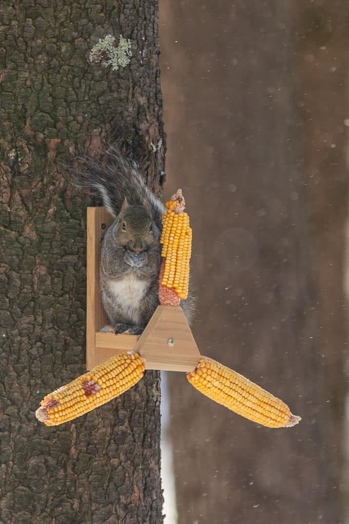Squirrel Eating Corn Shadow Dog Photography