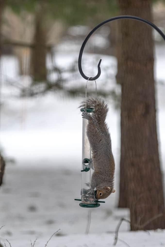 Squirrel on Bird Feeder Shadow Dog Photography