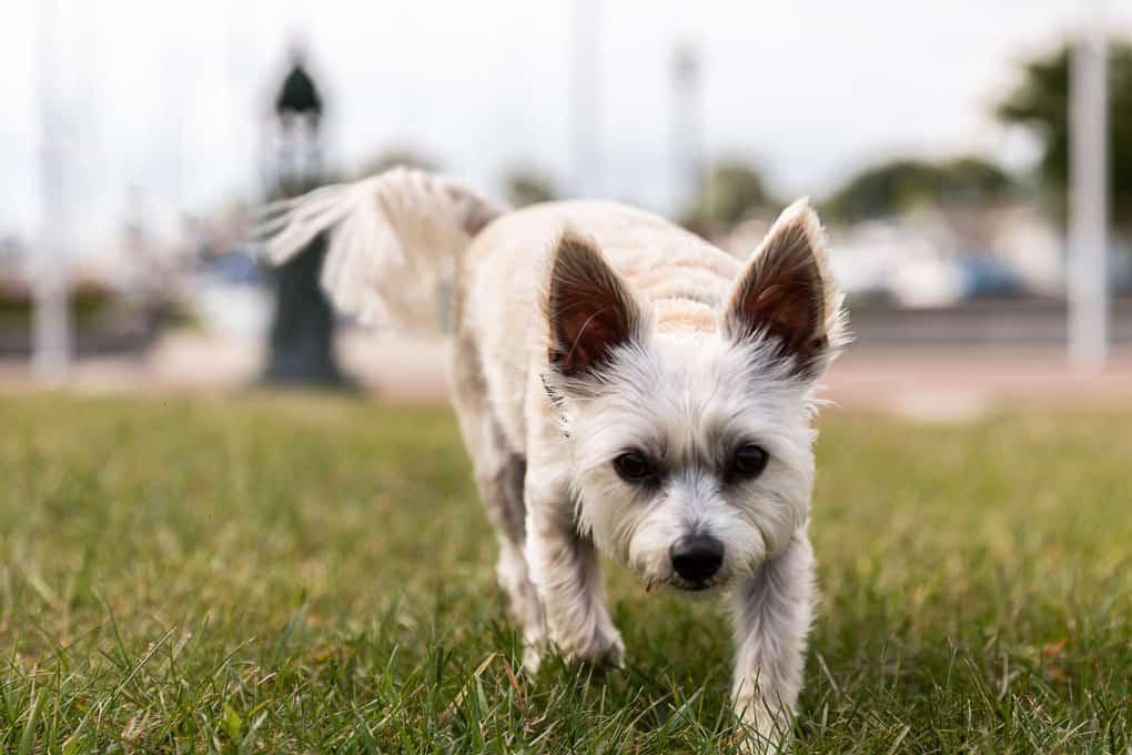 York Poo Trotting Shadow Dog Photography
