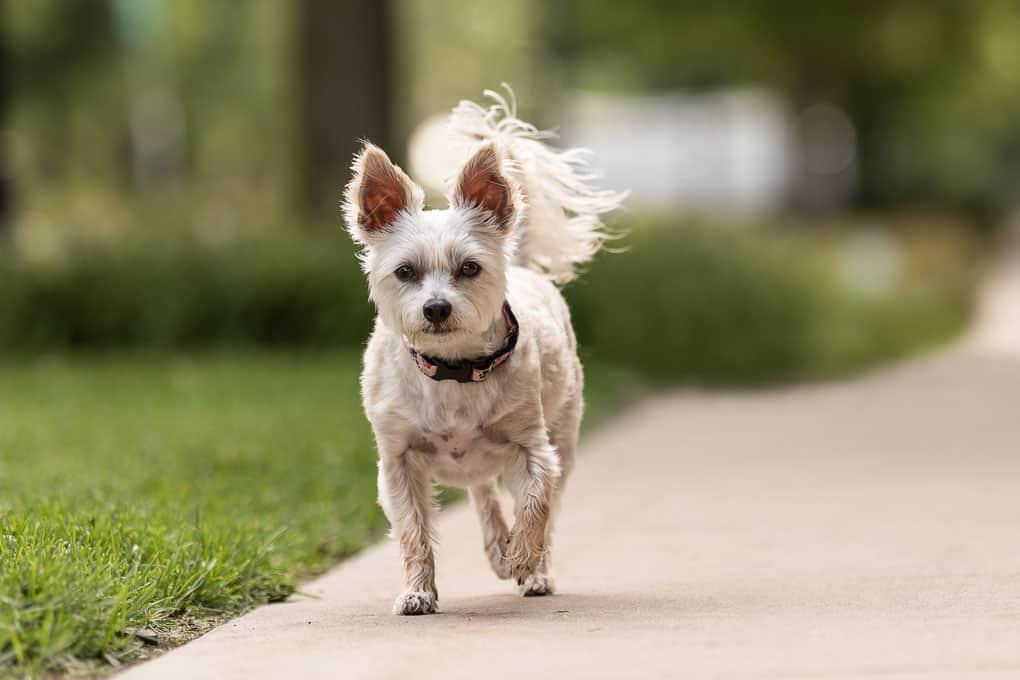 White Dog Trotting on Sidewalk Shadow Dog Photography