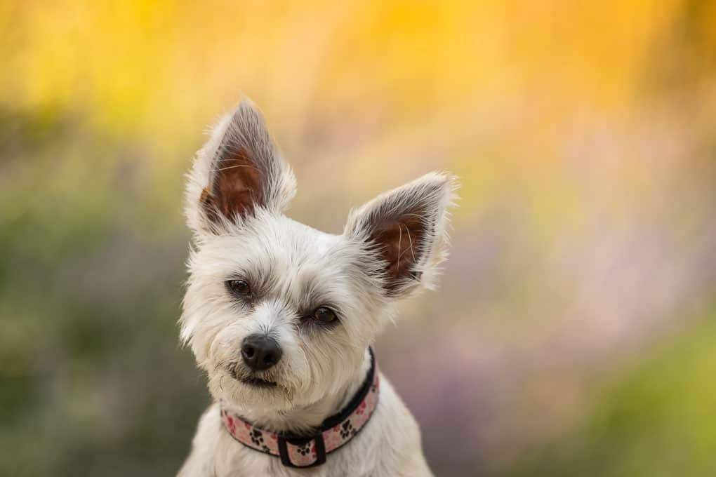 Close up of a Yorkie Poo Shadow Dog Photography