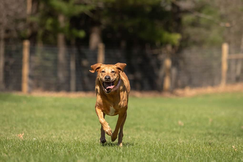 Lab Coonhound Running Shadow Dog Photography