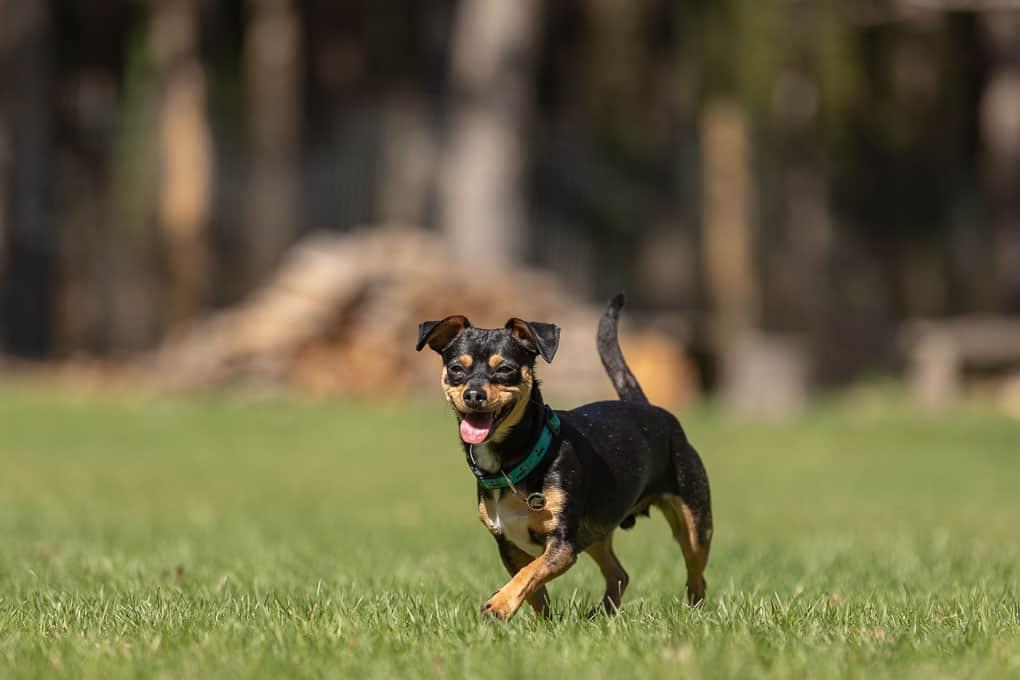 Chow Shepherd Shadow Dog Photography
