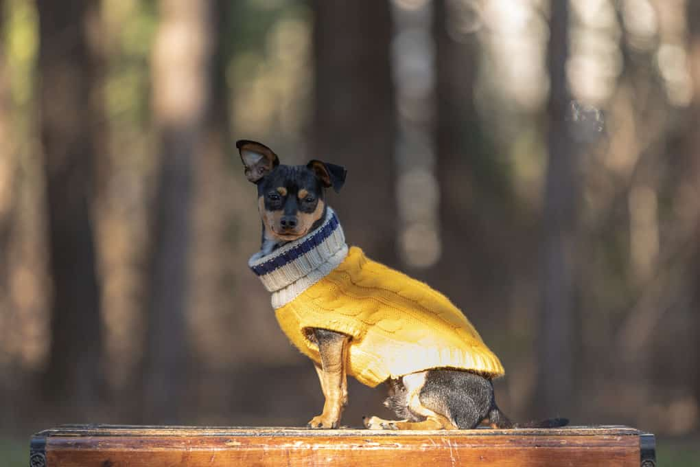 Little Black Terrier in Yellow Sweather Shadow Dog Photography