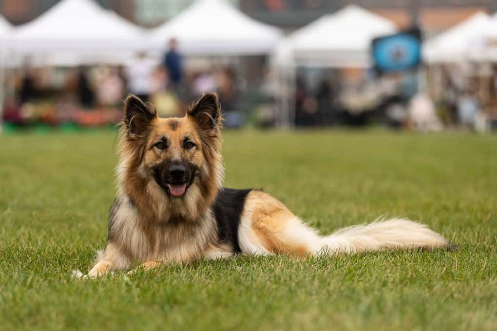 Rescued German Shepherd Laying in Grass Shadow Dog Photography